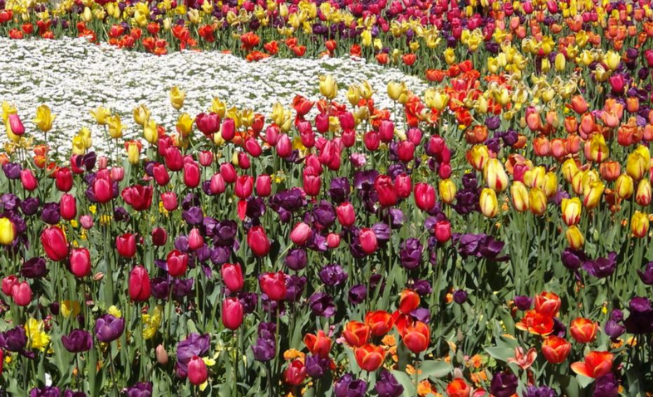 tulips flowers in Keukenhof events